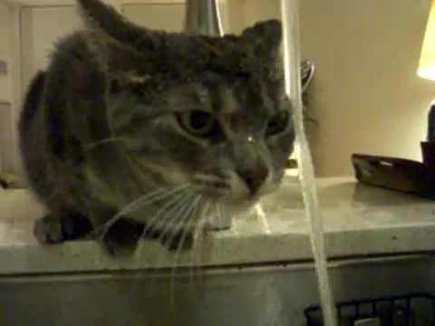 0 Esse gatinho tem um jeito meio ineficiente de matar a sede