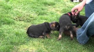 Kilcreggan Border Terrier Puppies - 9 Weeks