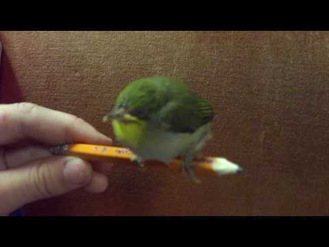 Baby Japanese White Eye Bird