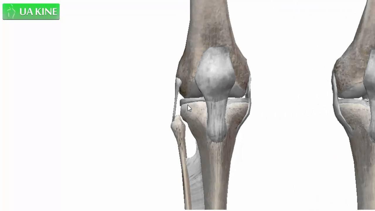 Anatomía general de la articulación de la rodilla. - YouTube
