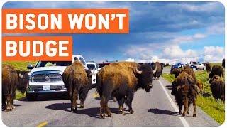 Herd of Bison Block Road | Pain in the Yak