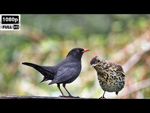 Karatavuk ve Öter Ardıç(Kırcalı) Avı/Blackbird and Thrush Bird Hunting HD