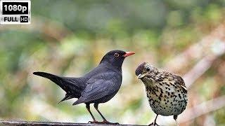 Karatavuk ve Öter Ardıç Avı Blackbird and Thrush Bird Hunting HD