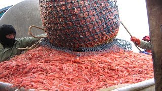 Amazing Shrimp Catching With Big Boat - Lot Of Shrimp Catch & Processing At Sea
