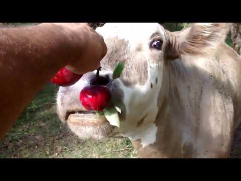 Cows that love Apples - A brief glimpse of Steele Farm