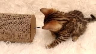 Открыт резерв / Бенгальская кошечка N1 свободна для резерва / Бенгальский котенок продажа