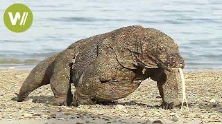 Der Komodowaran - riesige Giftschlange auf Beinen (Tierdokumentation in HD)