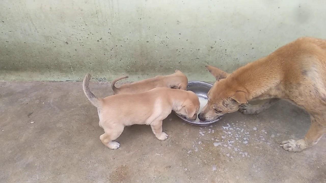 Anjing Herder Vs Anjing Kampung Youtube