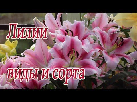 Лилии: виды и сорта