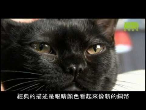 貓咪101---孟買貓
