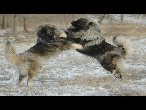Caucasian Shepherd Dog vs Wolf (Documentary in HD!!!)