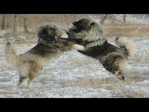 Caucasian Shepherd Dog vs Wolf (Documentary in HD!!!)