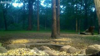 Cam 4 Evening Bear Visit  6-10-17