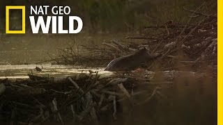A Beaver Family in Jeopardy | Wild Yellowstone