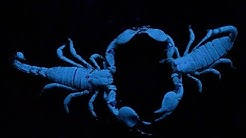 Scorpions Choose Their Mates by Dancing With Them