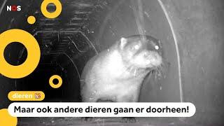 Overstekende otters hebben voortaan een eigen tunnel