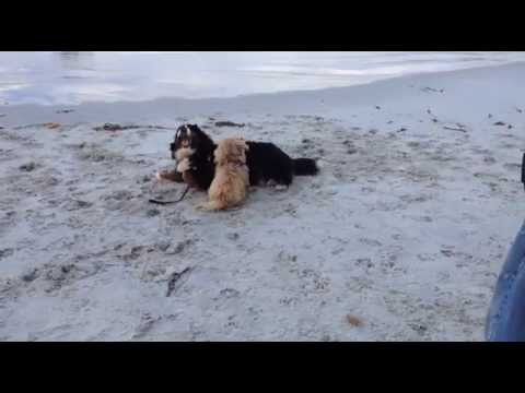 Cairn Terrier loves his Bernese Mountain Dog Pals