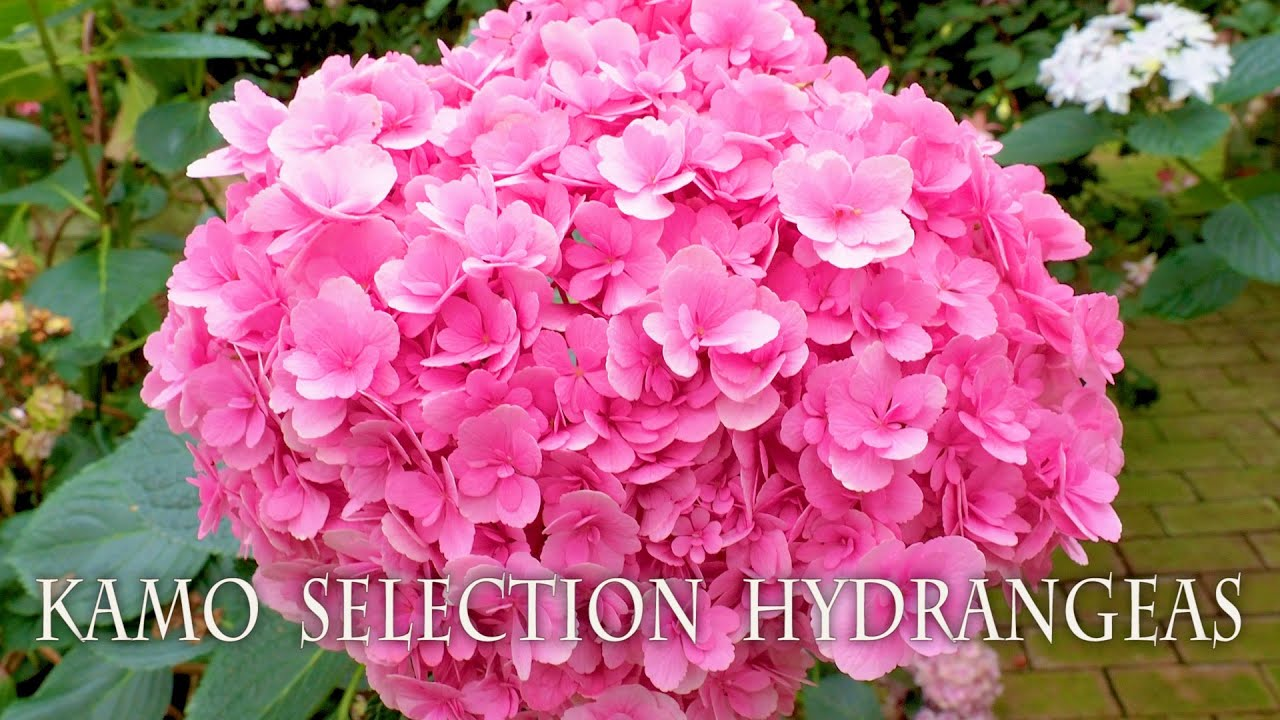 Kamo Selection Hydrangeas at Fuji Kachoen Garden Park. 加茂セレクション  #4K  #富士花鳥園