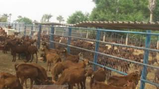 700 chévres de Maradi en enclos à ENSA