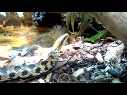 venomous snakes black mamba green mamba king cobra youtube