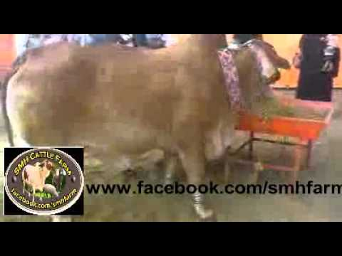 Karachi Cow Mandi 2011 (Part #9) Travel Video