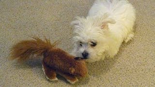 Cute Maltese Puppy Dog Playing With Toy Squirrel Things Plainfield Puppies Barking Funny Videos