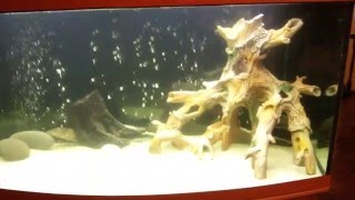 600 литровый аквариум. Запуск. Этап 2-й. Рыбы: Скат Моторо и сом Парчовый Птеригоплихт(, 2015-12-28T09:09:45.000Z)