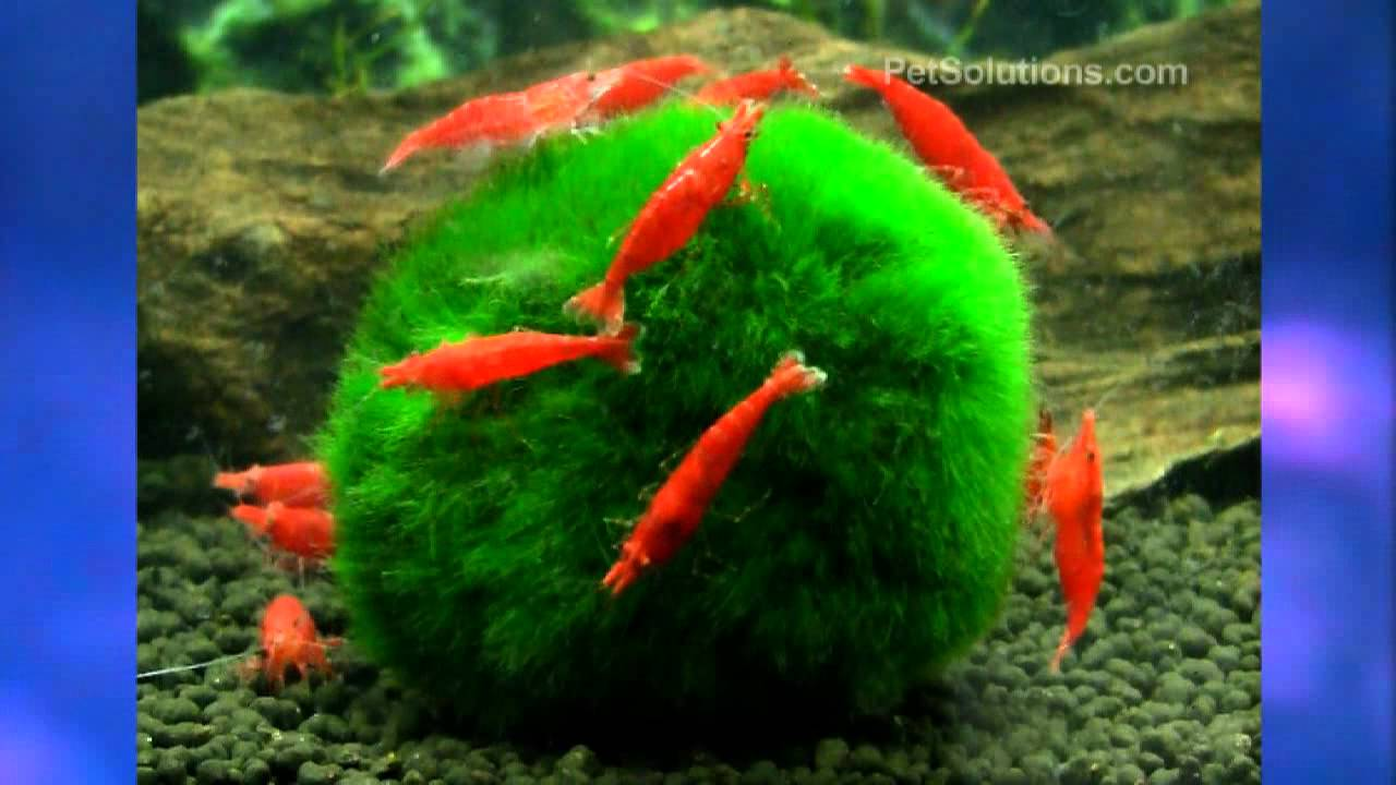 PetSolutions: Fire Red Shrimp (Freshwater) - YouTube