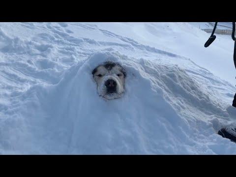 WE BURIED PHIL   SNOW DOG SNOWED UNDER