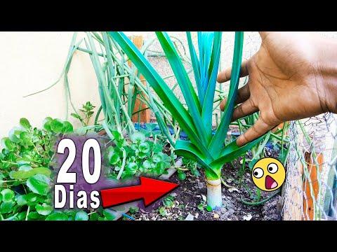 Como Plantar Alho Poró (Replantando de Supermercado)