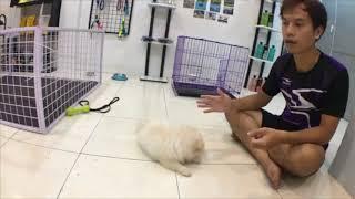 Cách huấn luyện chó cơ bản (#1 - Bản Livestream) Dạy cún NGHE TÊN chủ gọi   Chi tiết   BossDog