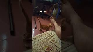 Mèo Chiu Chiu nghịch đuôi hài hước