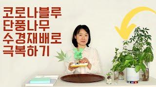 코로나블루 단풍나무 수경재배로 극복하세요!