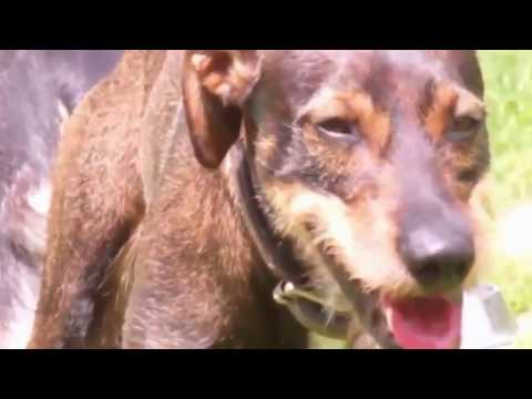 Dogs Mating Hard and Longtime | Funny animals video Compialation 2015 thumbnail