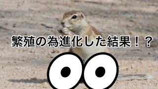 繁殖の為オスが進化した部位がー!残念すぎる!! 動物雑学 ケープアラジリス