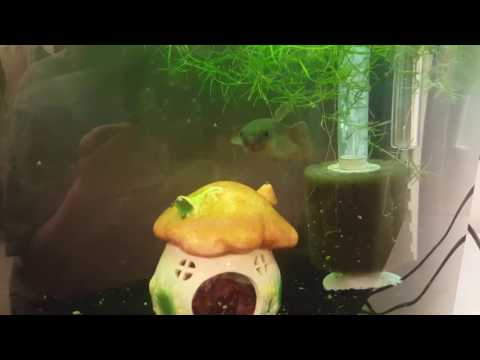 "Daily Vlog #20/21: Setting up a ""new"" tank, baby patoti, and Susie thinks she's a puffer"