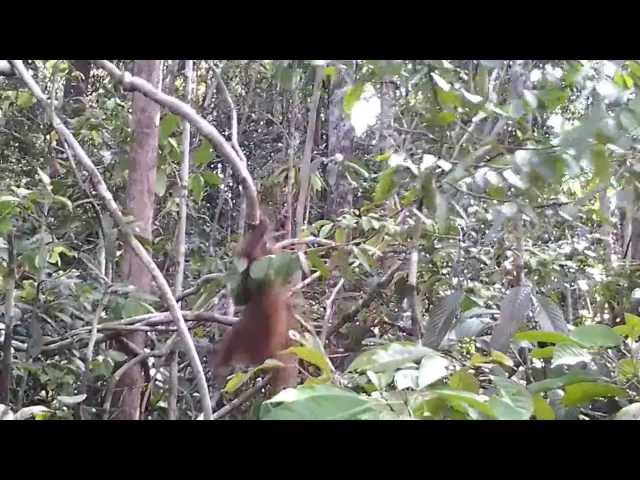 Orang Utan In Tanjung Puting National Park