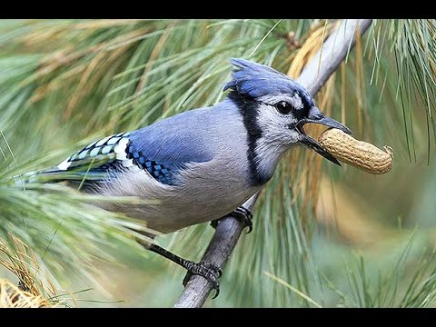 Blue Jay Bird In My Backyard