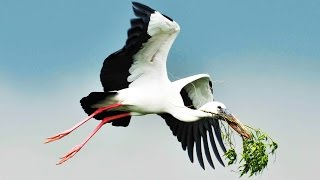 Hope Has A Place by ENYA - Beautiful Nature: THE BLACK STORK