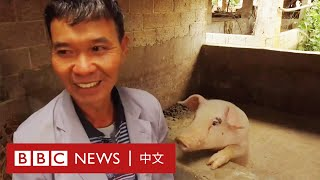非洲豬瘟:曾有百餘頭豬的豬農,如今豬棚只剩一頭母豬- BBC News 中文