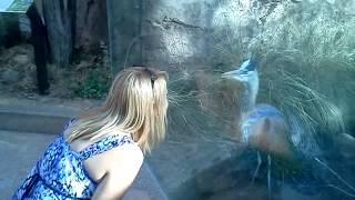 Great blue heron pecking