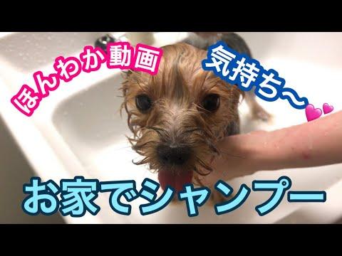 ヨーキーのお家で気持ちいいシャンプー【Maltese & Yorkshire terrier】