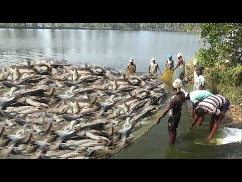 LOT OF FISHES CATCHING BY FISHERMEN
