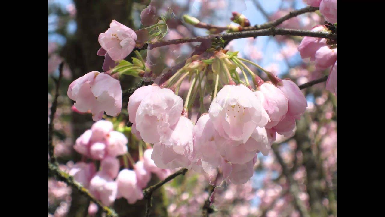 Sakura A Cherry Blossom Timelapse Youtube