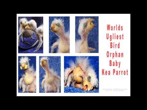 Worlds UGLIEST Bird Orphan Baby Kea Parrot  #307