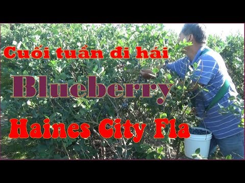 Vlog 116 - Cuối tuần đi hái Blueberry ở Haines City Florida