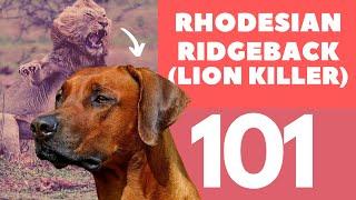 Rhodesian Ridgeback 101 : Breed & Personality