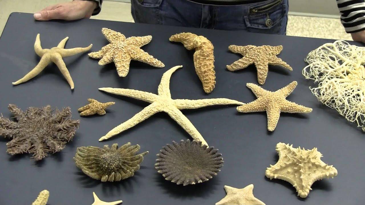 Echinodermata Examples Youtube