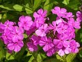 How to grow and care for phlox plant urdu hindi mp3