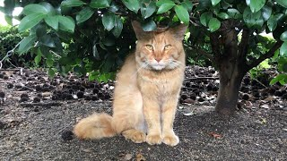 茶トラ猫が初めて近くに来てくれました。公園野良猫 japanese straycat videos thumbnail